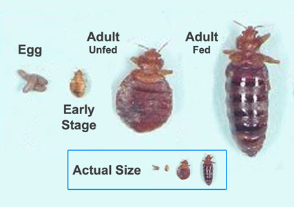 bed bug cycle